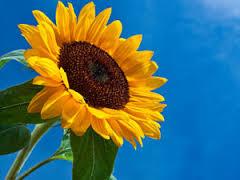A flor do Girassol é símbolo do Cristão e da Ressurreição. Buscamos a vida, a Luz, nos movemos, nos convertemos para Cristo! Girassol com sementes, caule e de cor amarela sempre se volta para o sol para receber a energia solar e assim viver!!!