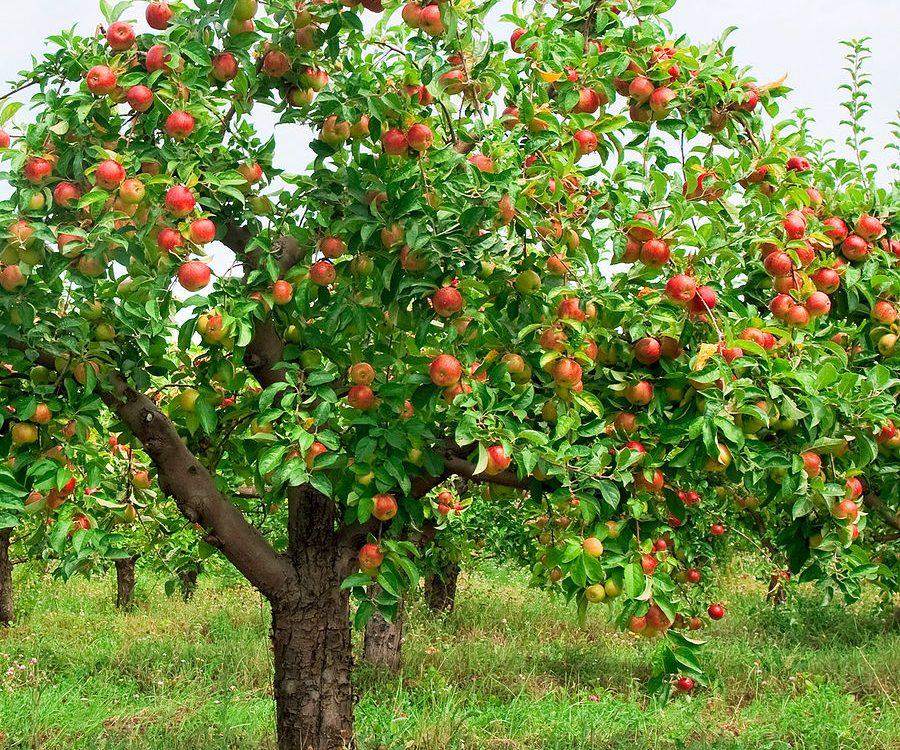 Um pé de macieira, com frutas bonitas e saudáveis. Tema do 26º ENCREPAS